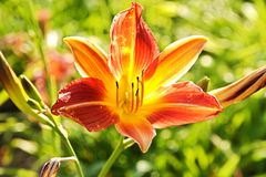 Orange daylily Stock Photo
