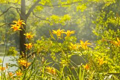 Orange Daylily. Orange daylilies burst with radiant light in the early morning sun Stock Image