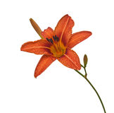 Orange daylily flower in drops of dew isolated Stock Photography