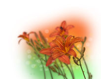 Orange daylily flower in drops of dew Royalty Free Stock Images