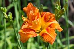 Orange daylily Royalty Free Stock Images
