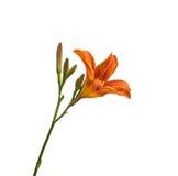 Orange daylily flower  isolated Stock Image