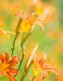 Orange daylily flowers Stock Image