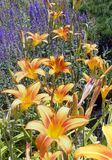 Orange Daylily Flowers in Bloom Stock Photos