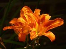 Orange Daylily Flowers Royalty Free Stock Images