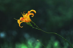 Orange daylily flowers Stock Images