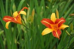 Orange daylily. On green grass Royalty Free Stock Photography