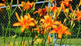 Orange Daylily (Hemerocallis fulva). Orange Daylilies (Hemerocallis fulva) in an Illinois garden stock footage
