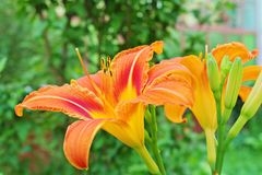 Free Orange Daylily Hemerocallis Fulva In The Garden Royalty Free Stock Images - 155443489