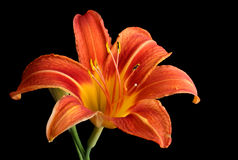Orange Daylily, Hemerocallis fulva, isolated Stock Images