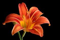 Orange Daylily, Hemerocallis fulva, isolated Stock Images