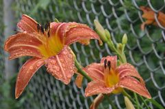 Orange Daylily (Hemerocallis fulva) with raindrops on the petals Stock Photos
