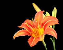 Orange Daylily, Hererocallis fulva Arkivbilder