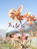 Orange Daylily i sommar Royaltyfria Bilder
