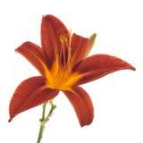 Orange daylily isolated over white Stock Image