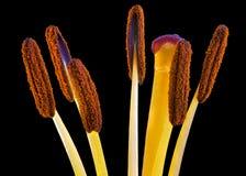 Orange Daylily Macro Stock Images