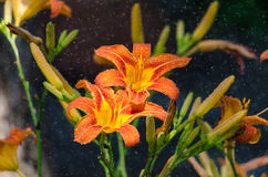 Orange Daylily in the mist of being sprayed. Flowers soak up the water Stock Image