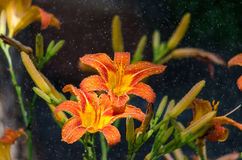 Orange Daylily in the mist of being sprayed. Flowers soak up the water Stock Photos