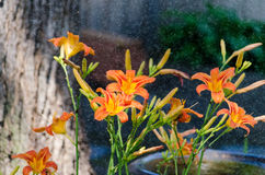 Orange Daylily in the mist of being sprayed. Flowers soak up the water Royalty Free Stock Images