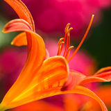 Orange daylily in side angle view Stock Images