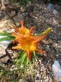 Orange daylily Royalty Free Stock Photos