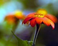 Orange Daze. Orange daisy flower in sunlight stock photography