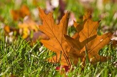 orange de chêne de lame d'herbe d'or Photo libre de droits