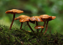 orange de champignon de couche Images libres de droits