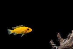 Orange de Cichlid sur le noir d'isolat Image libre de droits
