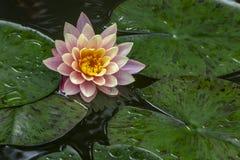 ` Orange de coucher du soleil du ` s de Perry de ` de nénuphar au soleil Le nymphaea reflété dans un étang image stock