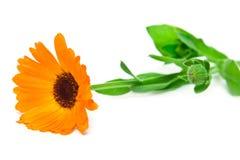 orange de fleur Image libre de droits