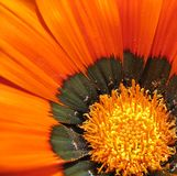 orange de fleur Images libres de droits