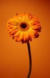 orange de marguerite Photo libre de droits