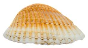 Orange de mer, coquille de perle, fin d'isolement, fond blanc Images libres de droits