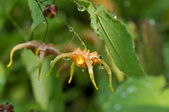 ` Orange de monsieurs de ` d'Epimedium photographie stock