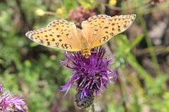 Orange de papillon sur la fleur photographie stock libre de droits