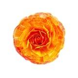 Orange de Ranunculus Photographie stock