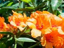 Orange de rhododendron Images libres de droits