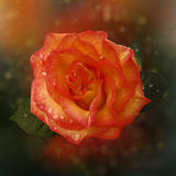 Orange de Rose Image stock