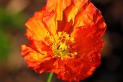 Orange de tête de fleur de pavot Image stock