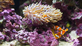 Orange Delight!!. Anemona, fish and corals blending in warm water royalty free stock photo