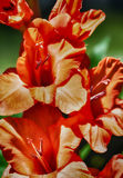 Orange Delight HDR. Macro of orange gladioli's Stock Photography