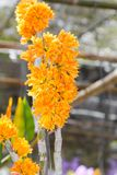 Orange Dendrobium Orchid flower Stock Photos