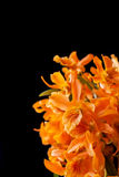 Orange dendrobium orchid flowers Royalty Free Stock Photo