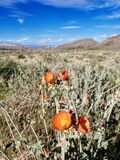 Orange desert globemallow flowers along a walking trail in Las Vegas, Nevada