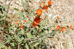 Orange Desert Mallow wildflowers surrounded by pale green foliage with a desert background. Bright Orange Desert Mallow wildflowers surrounded by pale green stock photo