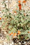 Orange Desert Mallow Wildflowers with pale green foliage with a desert background. Orange Desert Mallow Wildflowers surrounded with thick pale green foliage and stock photography