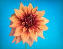 Orange dhalia Royalty Free Stock Images