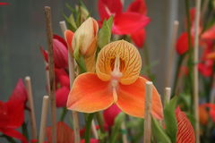 Orange disa orchid 2 Stock Images