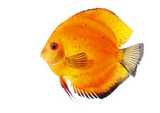Orange Discus Stock Images